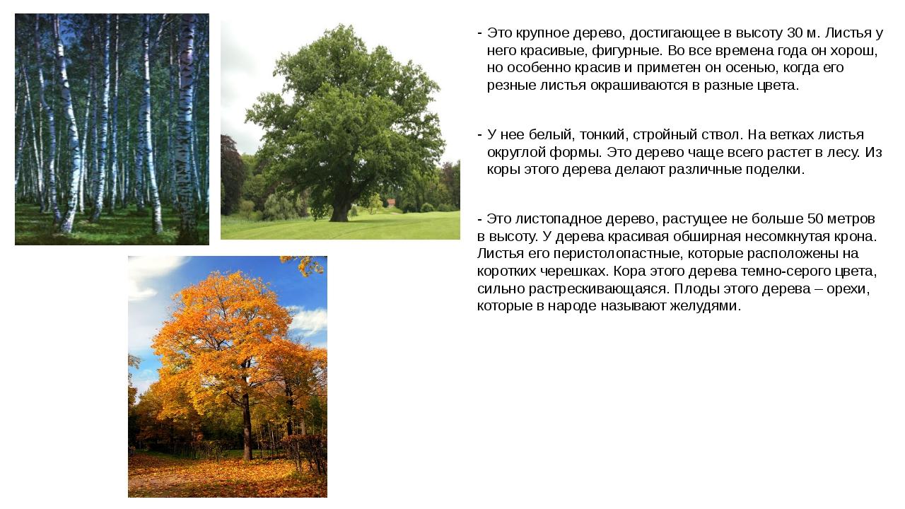 Это крупное дерево, достигающее в высоту 30 м. Листья у него красивые, фигурн...