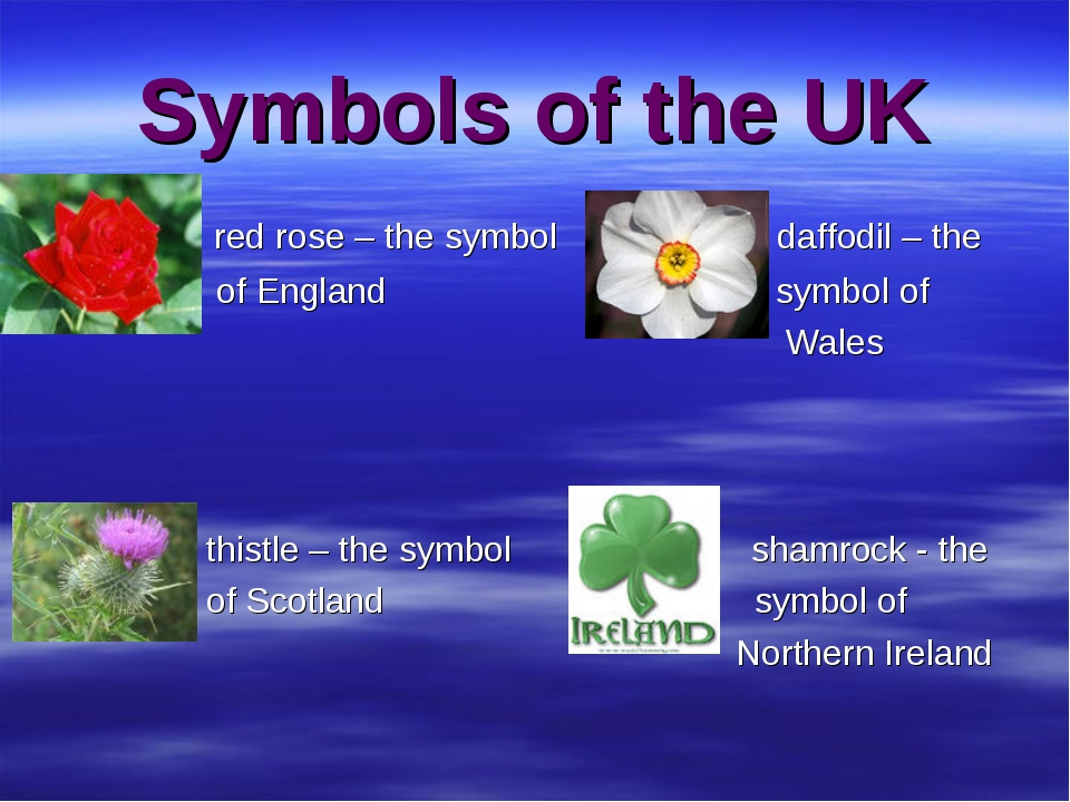 Symbols of the UK red rose – the symbol daffodil – the of England symbol of W...