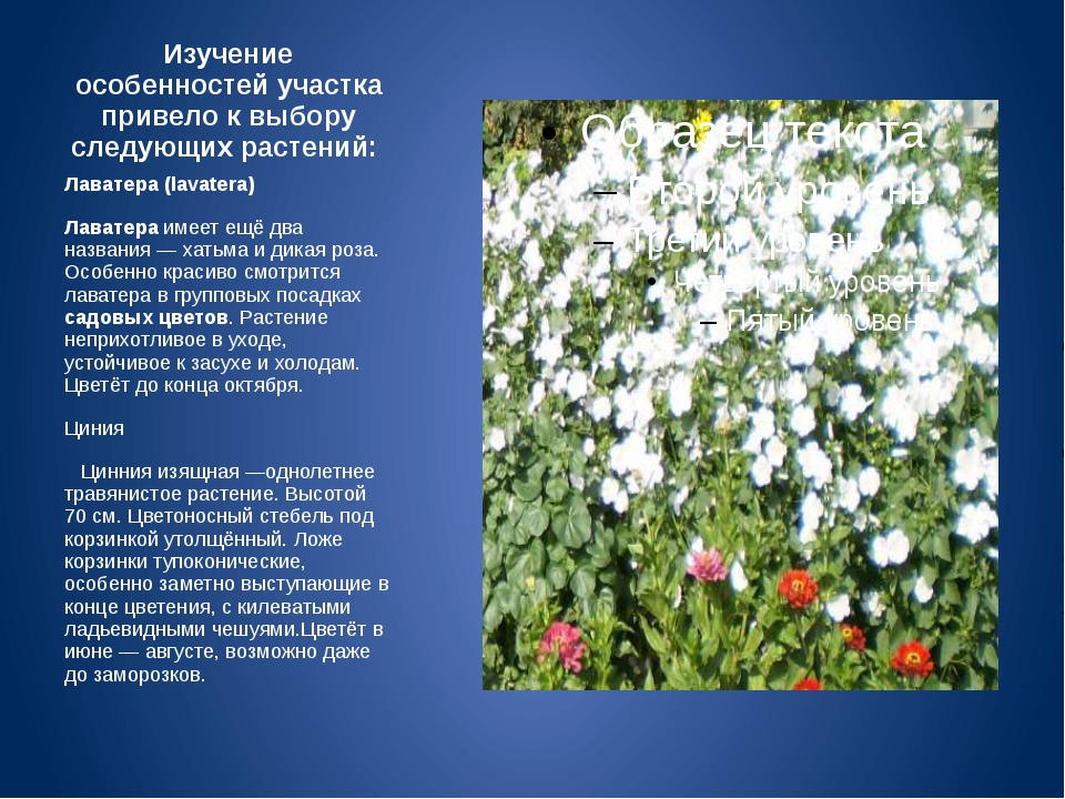 Изучение особенностей участка привело к выбору следующих растений: Лаватера (...