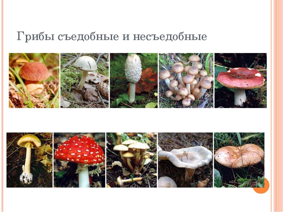 название несъедобных грибов с фото и названиями актрисы стали близким