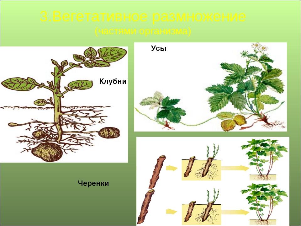 3.Вегетативное размножение (частями организма) Клубни Черенки Усы