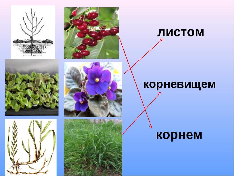 листом корнем корневищем