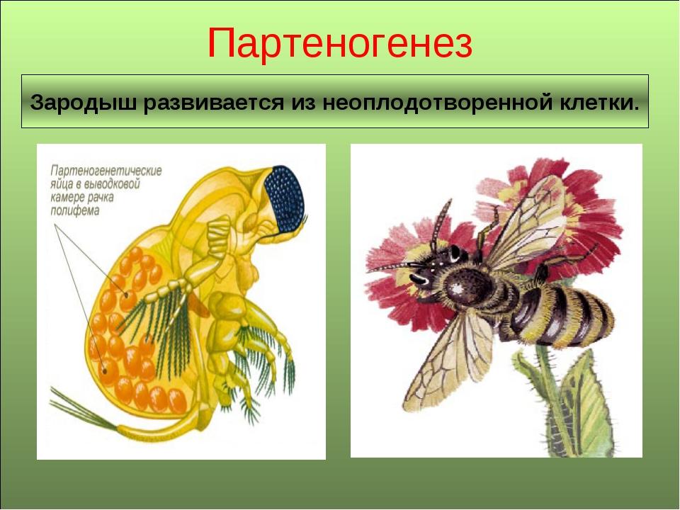 Партеногенез Зародыш развивается из неоплодотворенной клетки.