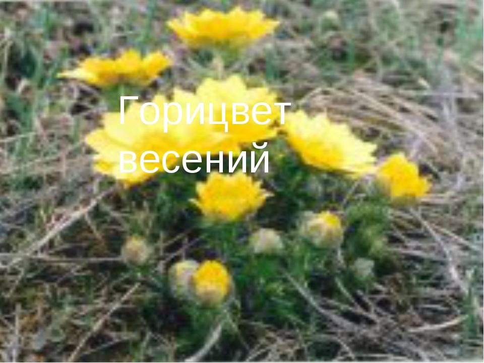 Горицвет весений