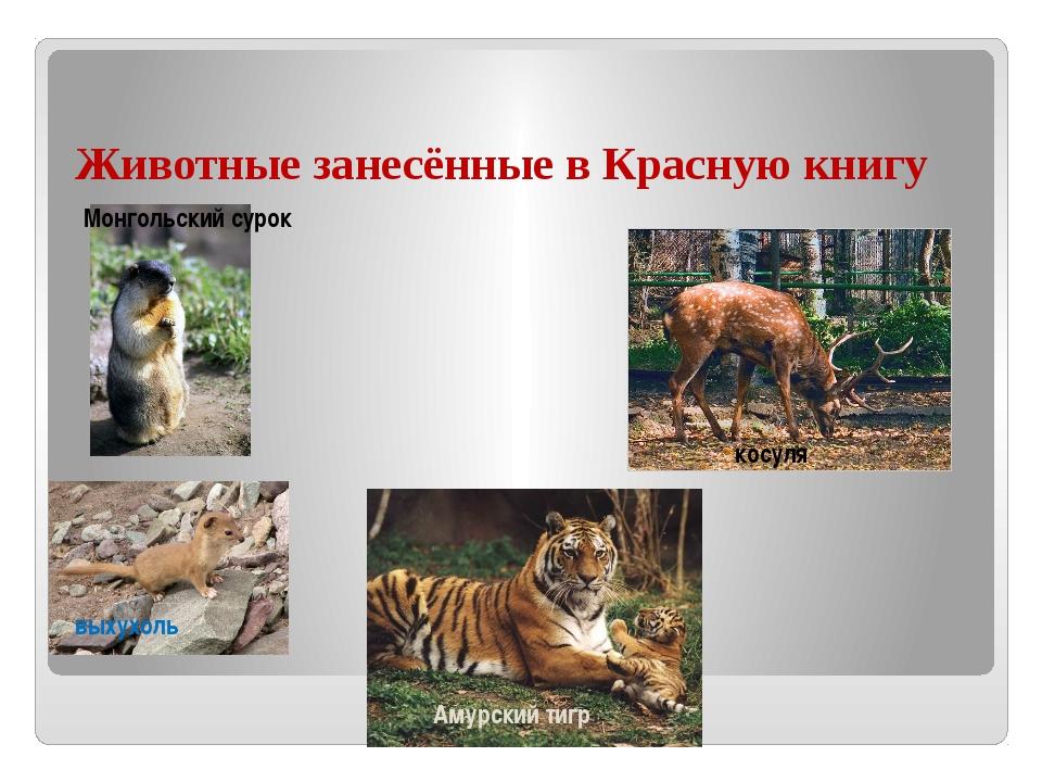 Животные занесённые в Красную книгу Монгольский сурок выхухоль косуля Амурски...