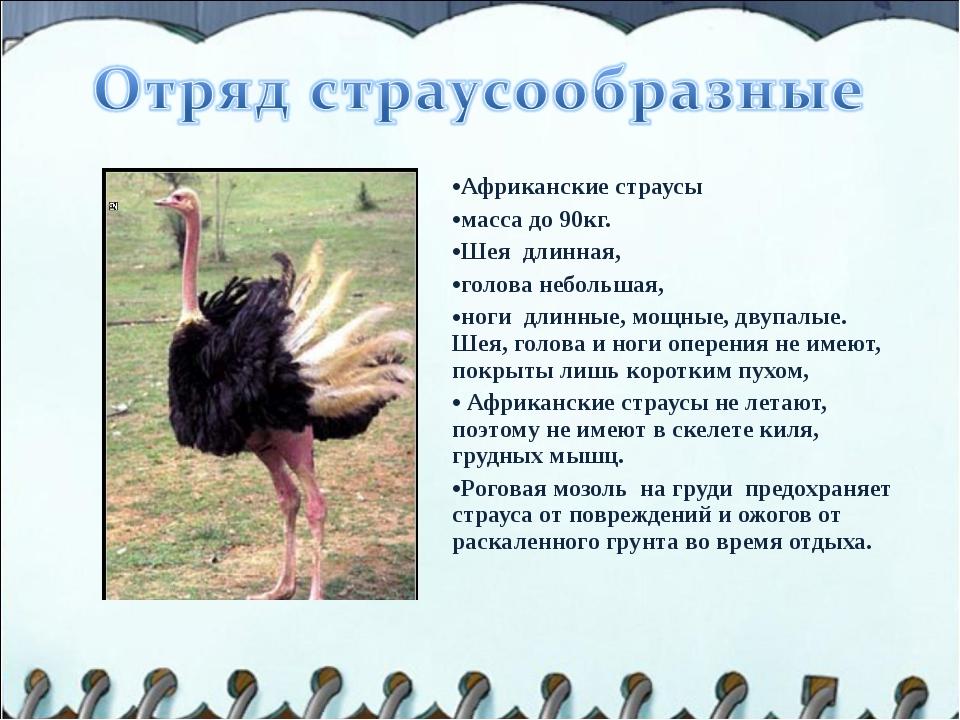 Африканские страусы масса до 90кг. Шея длинная, голова небольшая, ноги длинны...