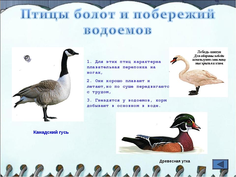 1. Для этих птиц характерна плавательная перепонка на ногах, 2. Они хорошо пл...