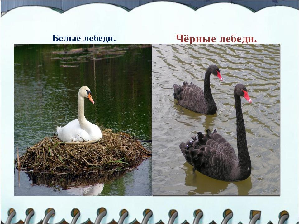 Белые лебеди. Чёрные лебеди.
