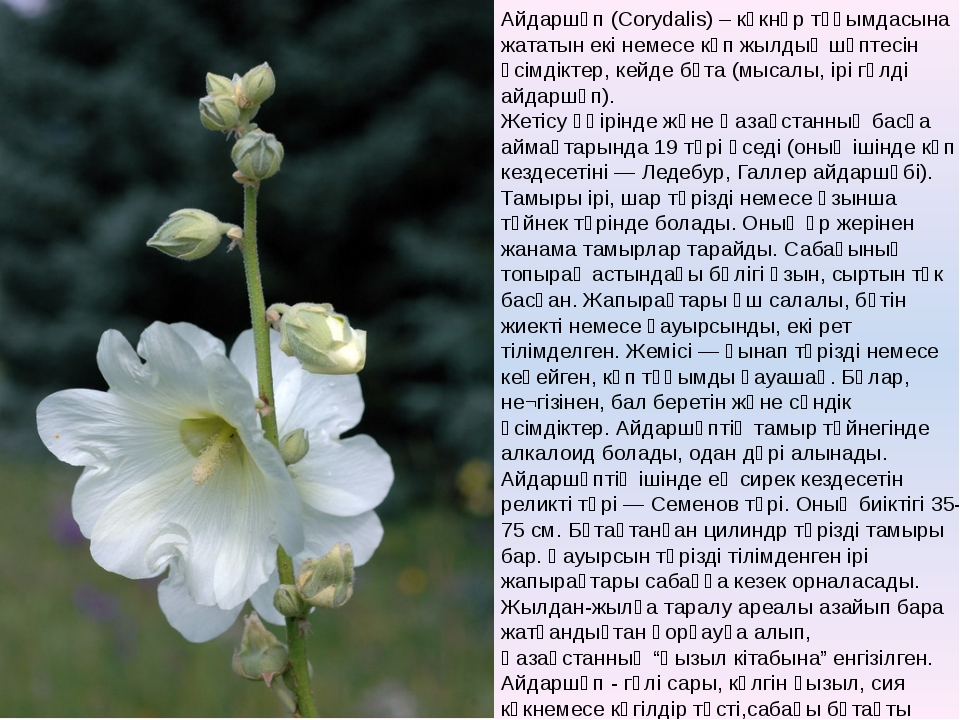 Айдаршөп (Corуdalіs) – көкнәр тұқымдасына жататын екі немесе көп жылдық шөпте...