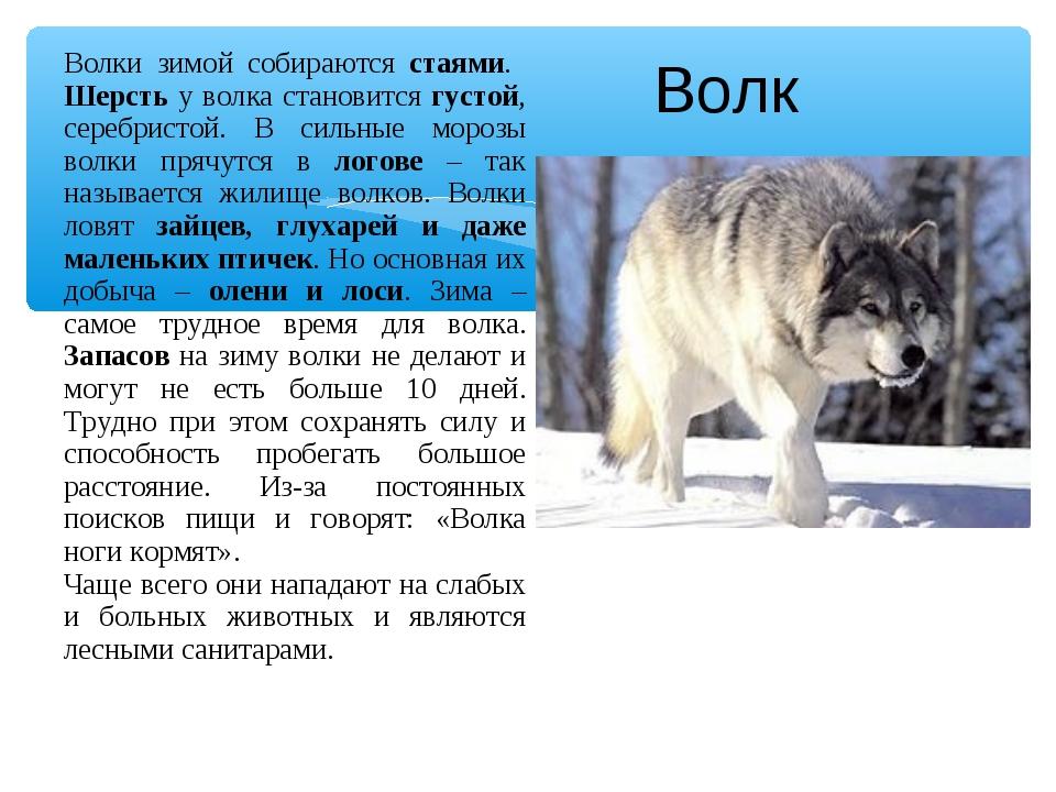 Волк Волки зимой собираются стаями. Шерсть у волка становится густой, серебри...