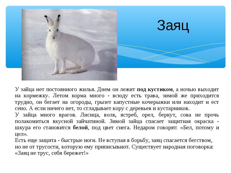 Заяц У зайца нет постоянного жилья. Днем он лежит под кустиком, а ночью выход...