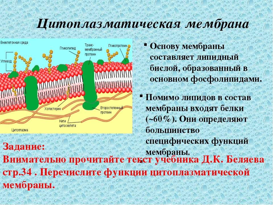 Цитоплазматическая мембрана Основу мембраны составляет липидный бислой, образ...