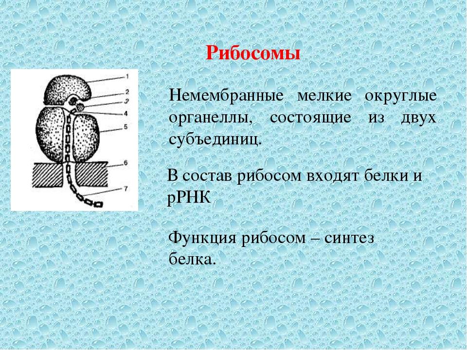 Рибосомы Немембранные мелкие округлые органеллы, состоящие из двух субъединиц...