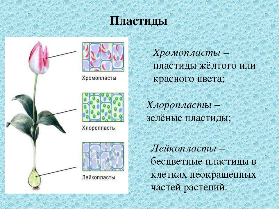 Пластиды Хромопласты – пластиды жёлтого или красного цвета; Хлоропласты – зел...