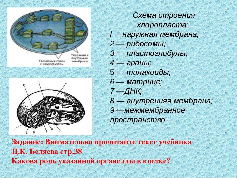 Схема строения хлоропласта: I —наружная мембрана; 2 — рибосомы; 3 — пластогло...