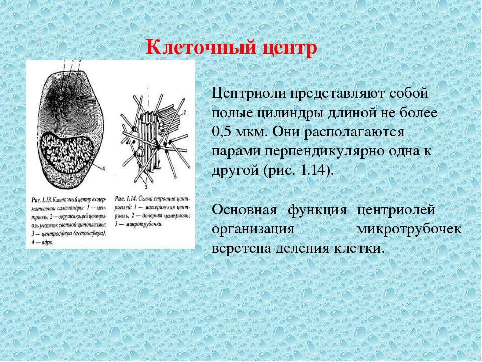 Клеточный центр Центриоли представляют собой полые цилиндры длиной не более 0...