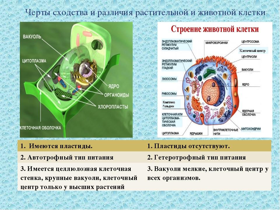 Черты сходства и различия растительной и животной клетки 1. Имеются пластиды....