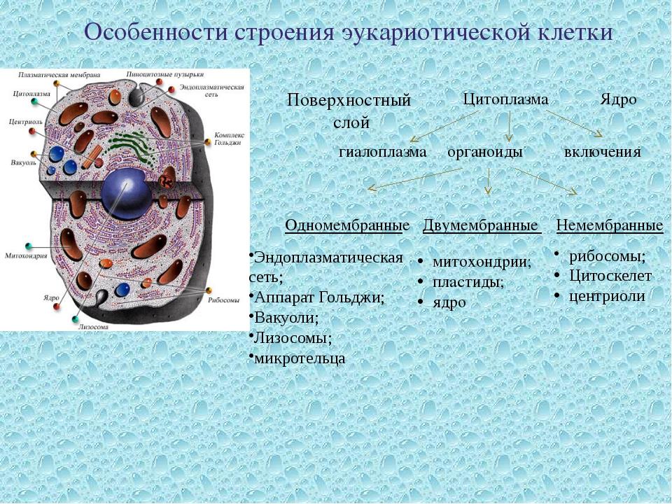 Особенности строения эукариотической клетки гиалоплазма органоиды включения П...