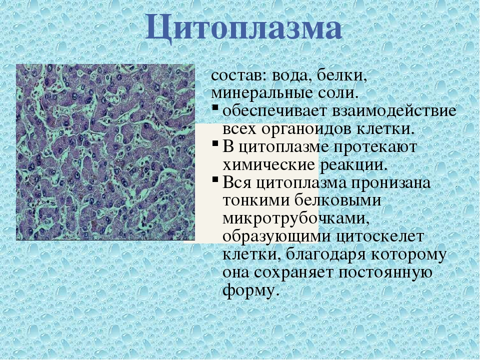 Цитоплазма состав: вода, белки, минеральные соли. обеспечивает взаимодействие...