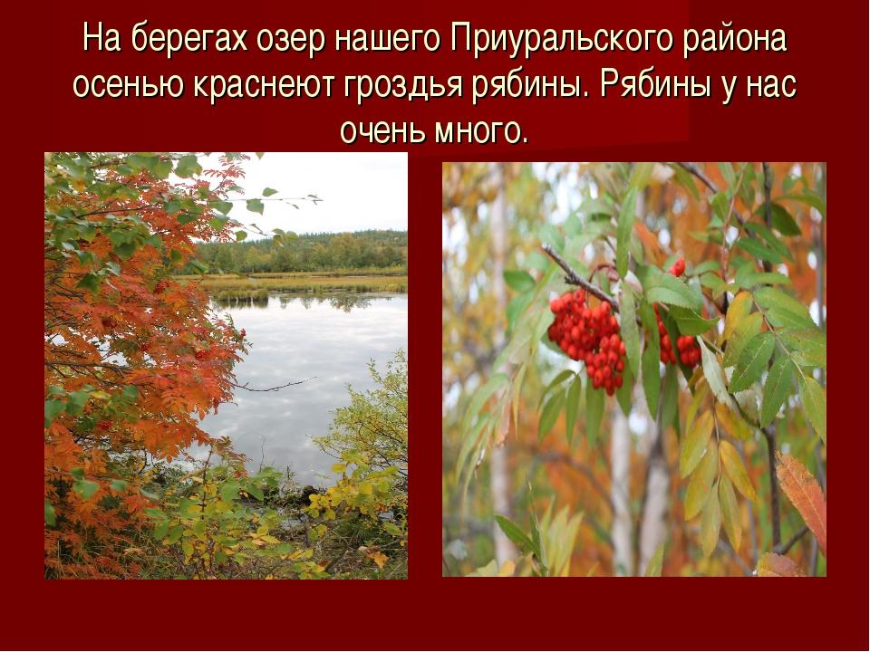 На берегах озер нашего Приуральского района осенью краснеют гроздья рябины. Р...