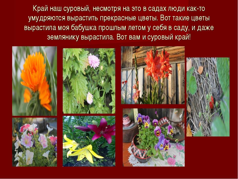 Край наш суровый, несмотря на это в садах люди как-то умудряются вырастить пр...