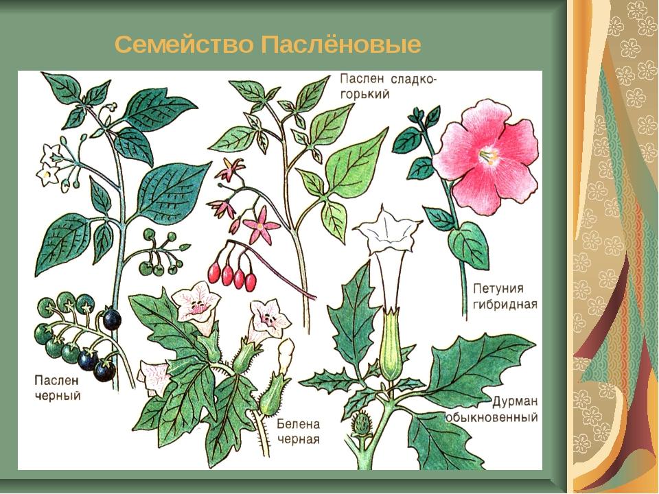 можно пасленовые растения все картинки левом углу карты