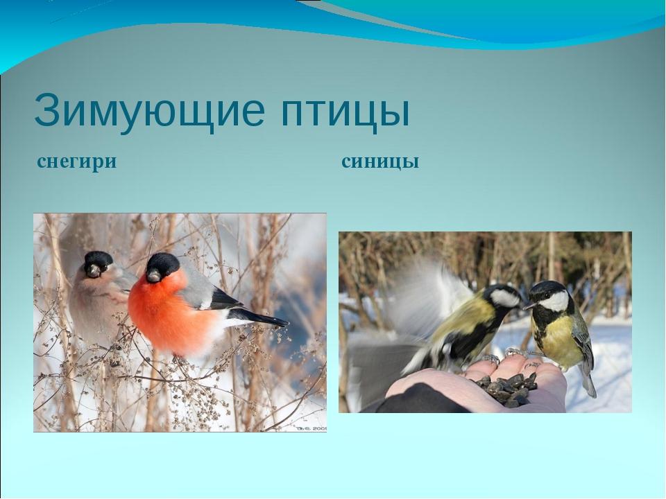 Зимующие птицы снегири синицы