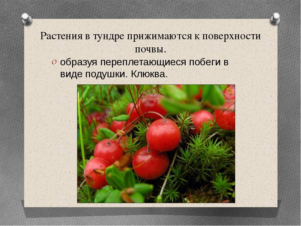 Растения в тундре прижимаются к поверхности почвы. образуя переплетающиеся по...