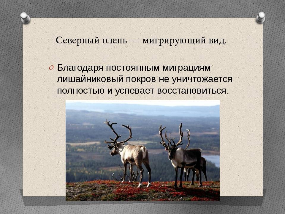 Северный олень — мигрирующий вид. Благодаря постоянным миграциям лишайниковый...