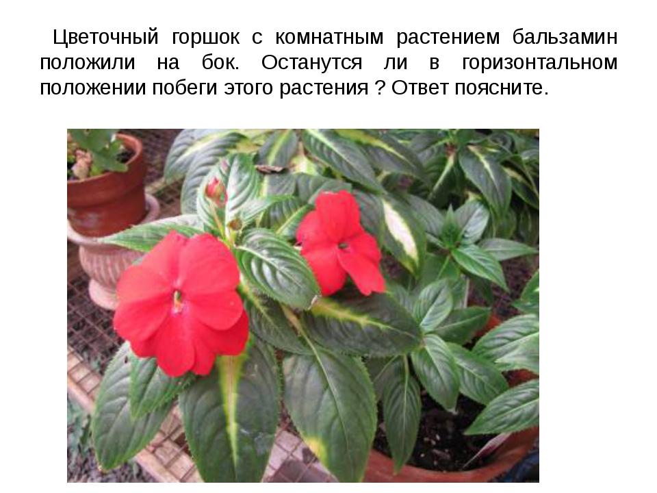 Цветочный горшок с комнатным растением бальзамин положили на бок. Останутся...