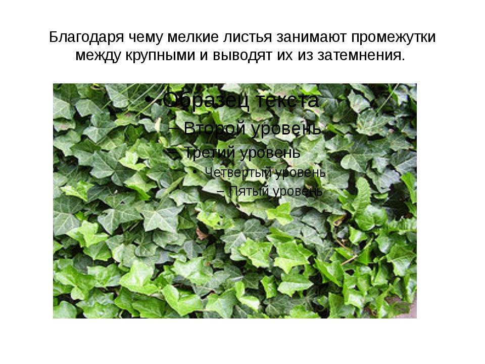 Благодаря чему мелкие листья занимают промежутки между крупными и выводят их...