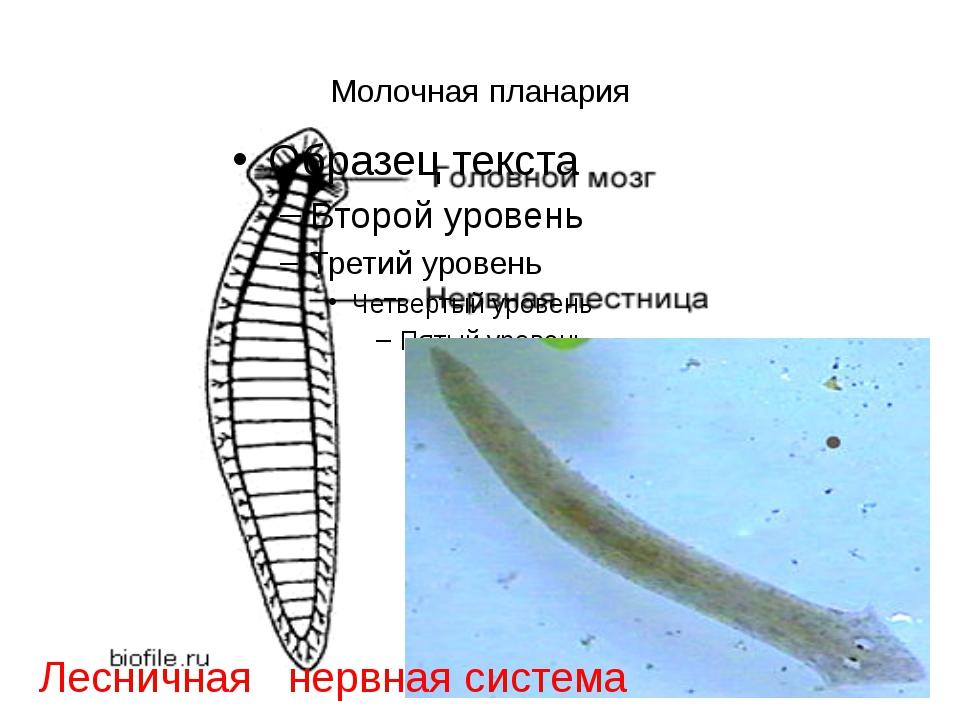 Молочная планария Лесничная нервная система