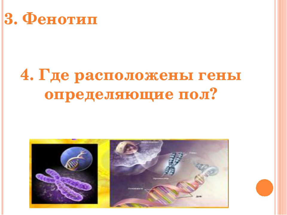 3. Фенотип -совокупность всех признаков организма. 4. Где расположены гены оп...