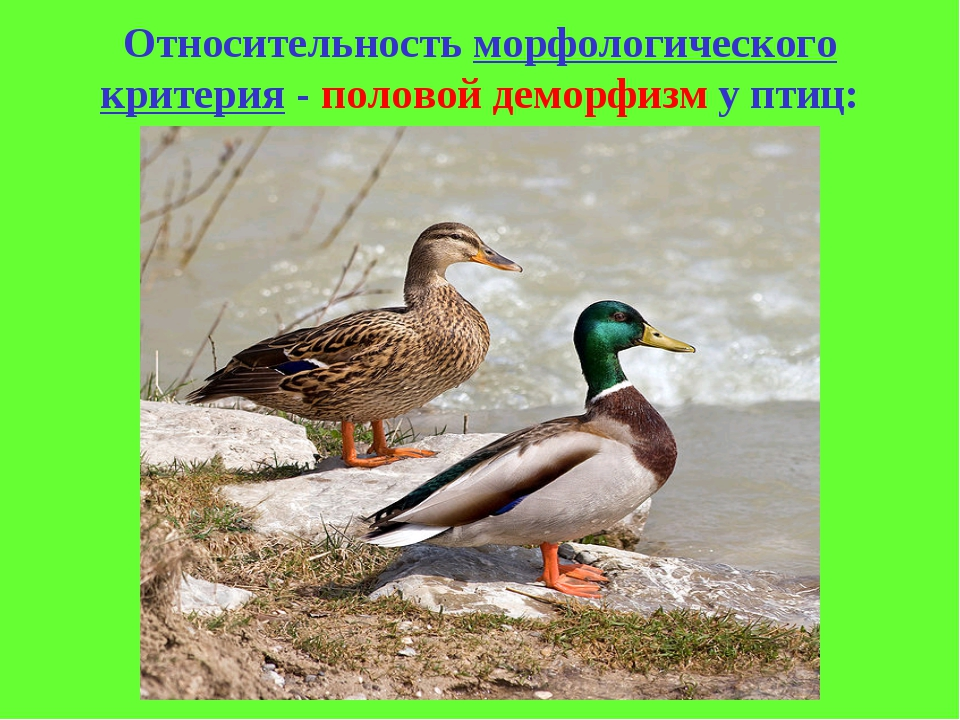 Относительность морфологического критерия - половой деморфизм у птиц: