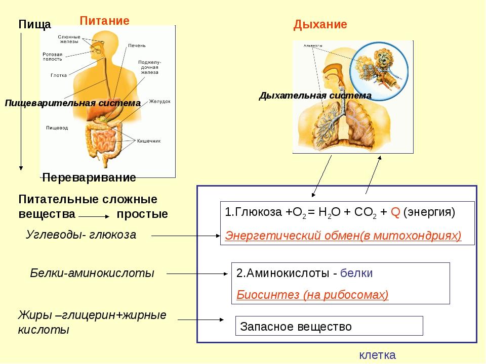 Белки-аминокислоты Жиры –глицерин+жирные кислоты Углеводы- глюкоза 2.Аминоки...