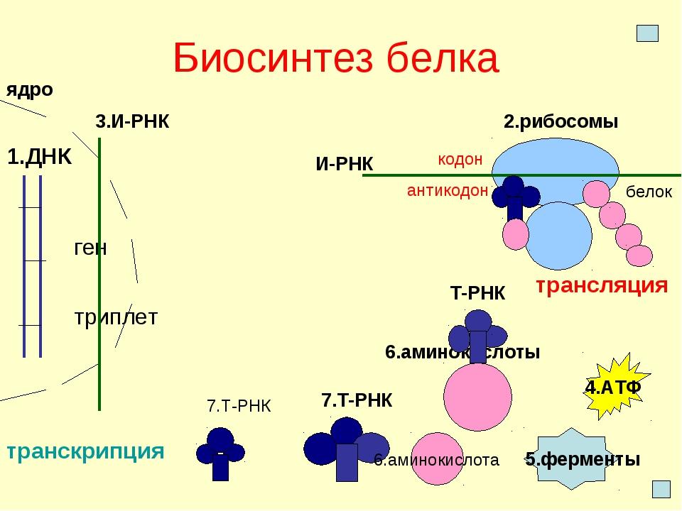 Биосинтез белка 1.ДНК ген триплет ядро 2.рибосомы 3.И-РНК транскрипция И-РНК...