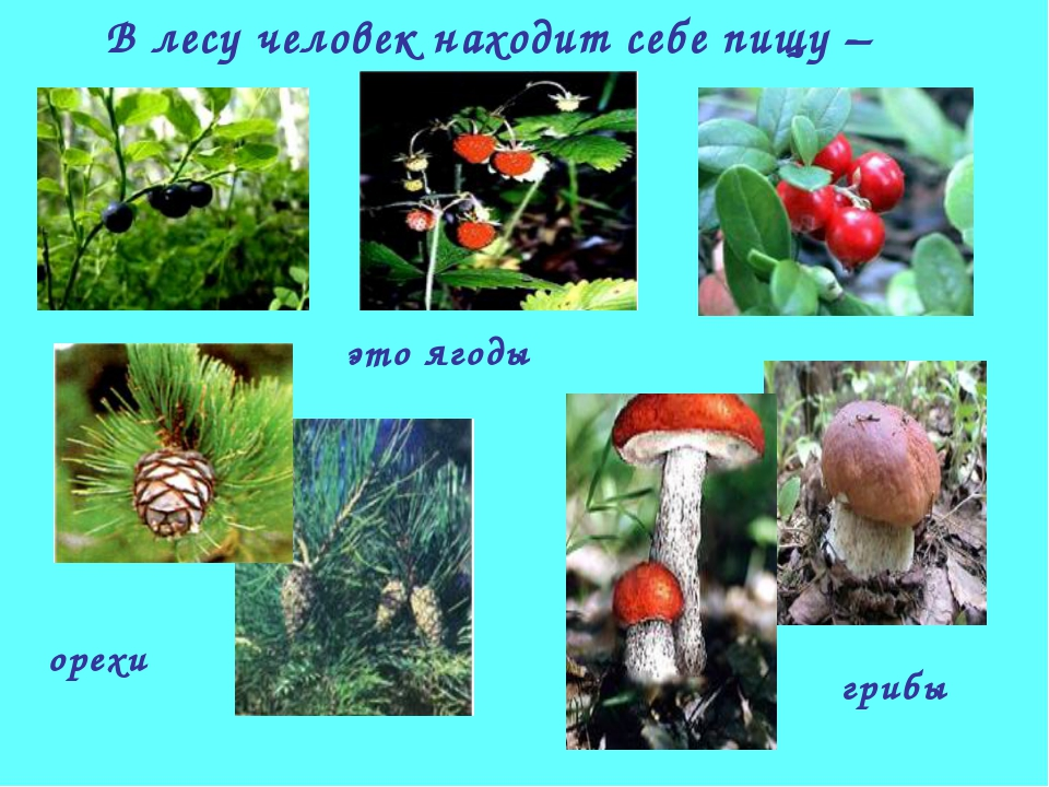 В лесу человек находит себе пищу – это ягоды орехи грибы