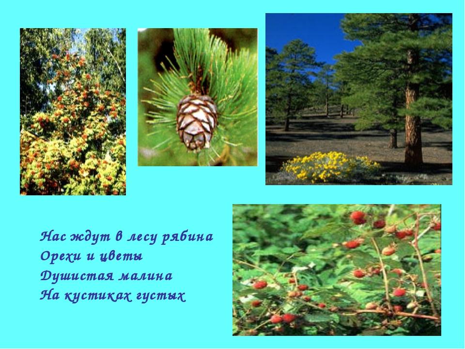 Нас ждут в лесу рябина Орехи и цветы Душистая малина На кустиках густых