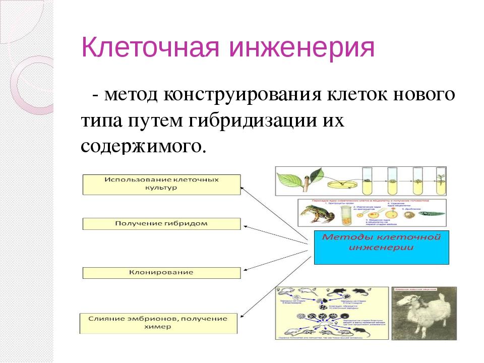 Клеточная инженерия - метод конструирования клеток нового типа путем гибридиз...
