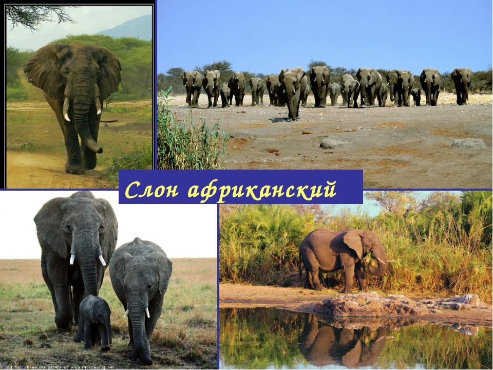 Слон африканский