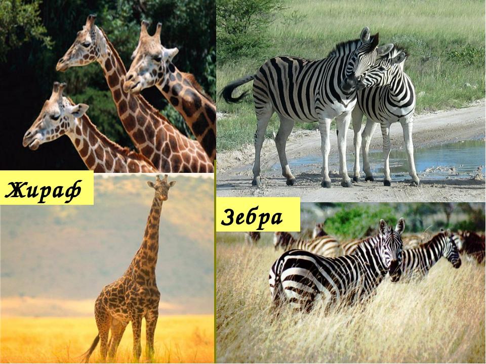 Жираф Зебра