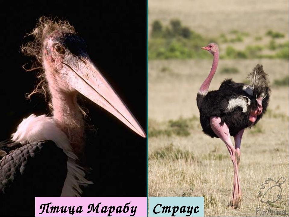 Птица Марабу Страус