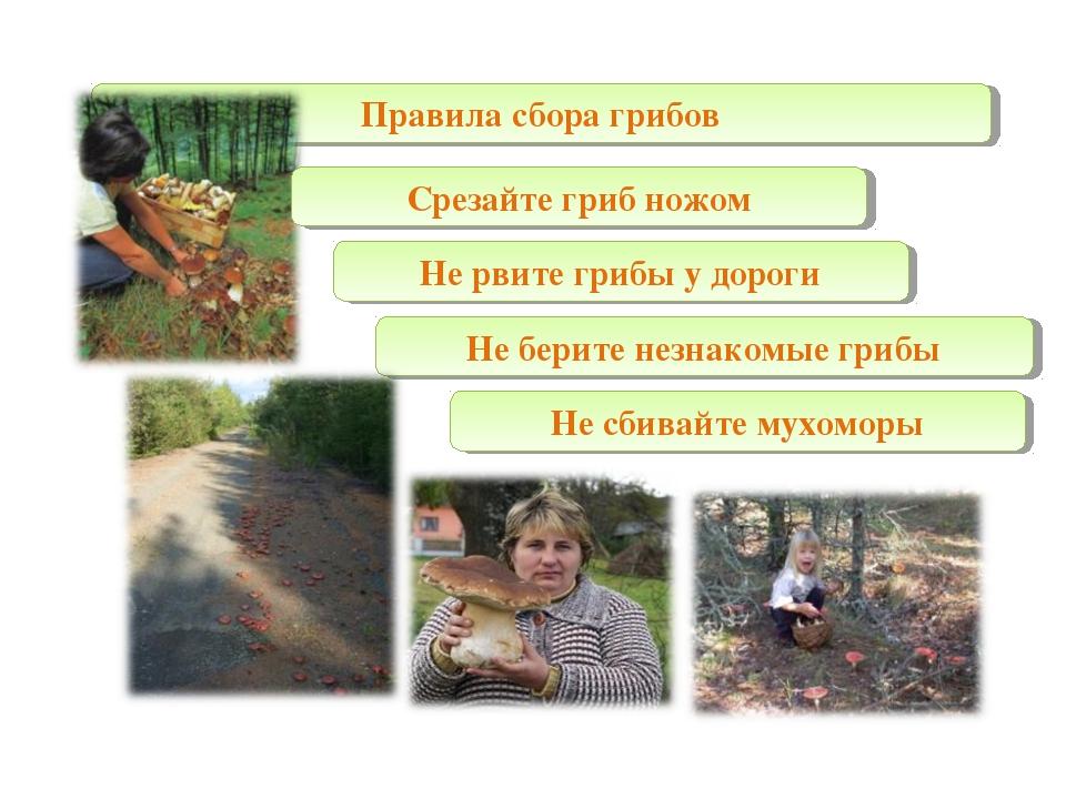Правила сбора грибов Срезайте гриб ножом Не рвите грибы у дороги Не берите не...
