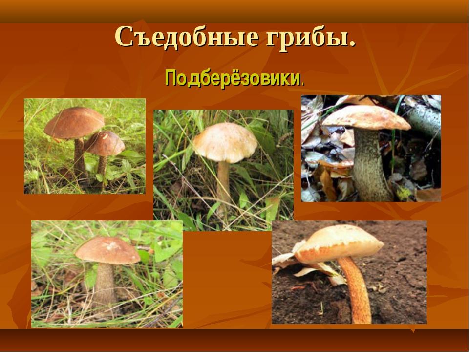 Съедобные грибы. Подберёзовики.