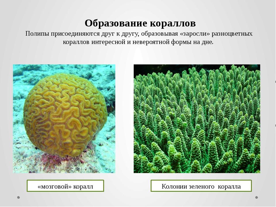 Полипы присоединяются друг к другу, образовывая «заросли» разноцветных коралл...