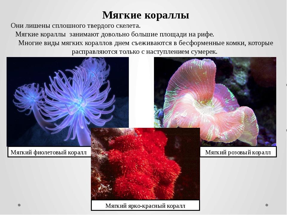 Мягкие кораллы Они лишены сплошного твердого скелета. Мягкие кораллы занимают...