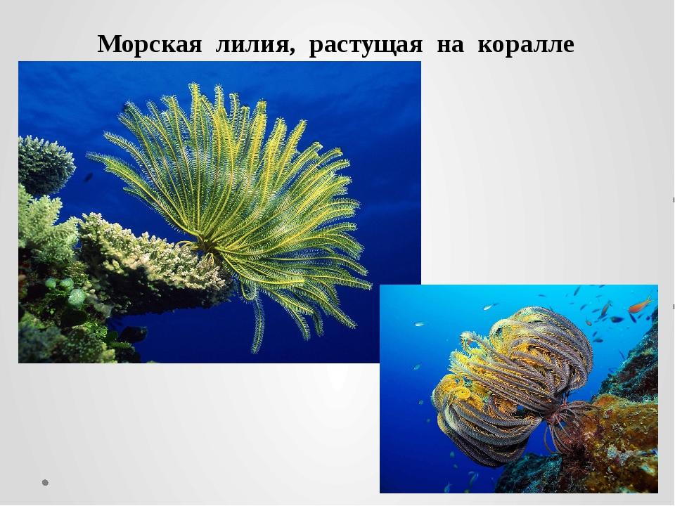 Морская лилия, растущая на коралле