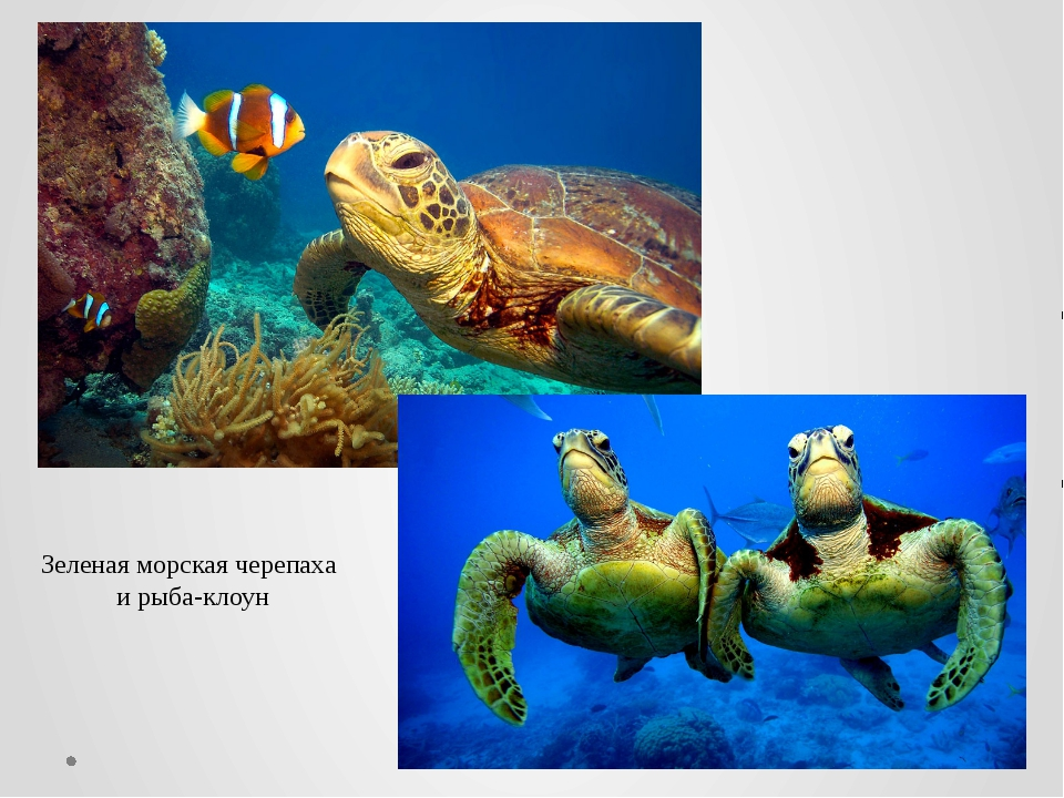 Зеленая морская черепаха и рыба-клоун