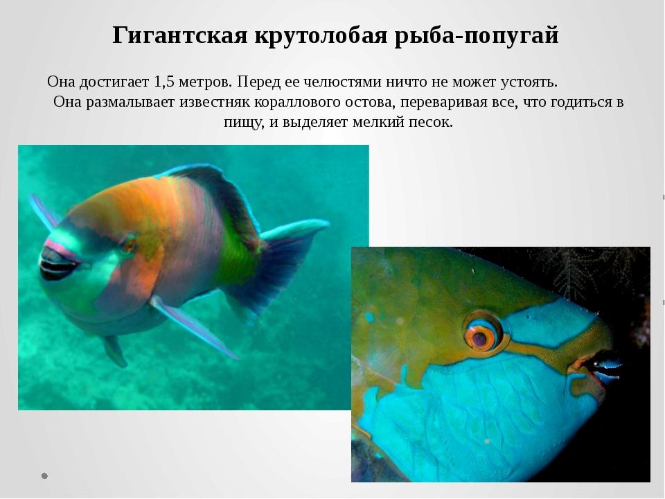 Гигантская крутолобая рыба-попугай Она достигает 1,5 метров. Перед ее челюстя...