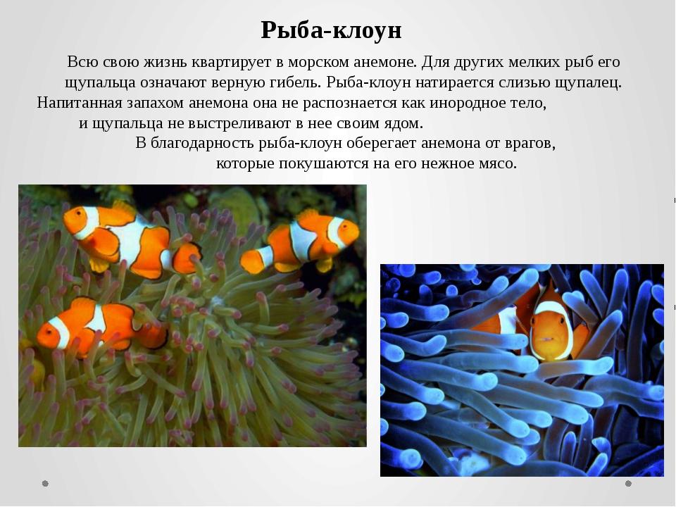 Всю свою жизнь квартирует в морском анемоне. Для других мелких рыб его щупаль...